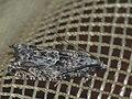 Epinotia cinereana nisella (27387959988).jpg