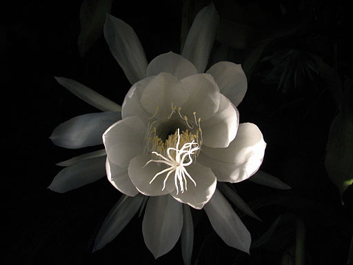 Epiphyllum-oxypetalum-whitelight-front-long