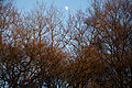 Epping Forest High Beach Waltham Abbey Essex England - trees and moon.jpg