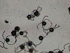 Equisetum arvense spore dry.jpg