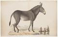 Equus taeniopus - 1700-1880 - Print - Iconographia Zoologica - Special Collections University of Amsterdam - UBA01 IZ21700021.tif