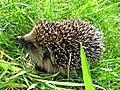 Erinaceus europaeus (Erinaceidae) - (juvenile), Elst (Gld), the Netherlands - 2.jpg