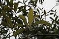 Eriobotrya japonica 12zz.jpg