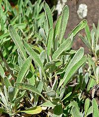 Eriogonum heracleoides 2