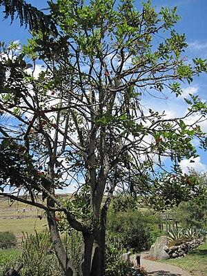 Erythrina edulis - Image: Erythrina edulis