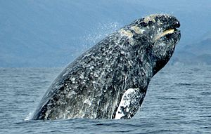 Gray whale - Gray whale breaching