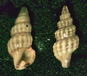 Clathurellidae - Two shells of Etrema bicolor