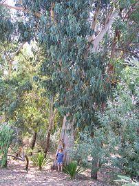 Tasmanian Blue Gum (Eucalyptus globulus or Eucalyptus bicostata [?])