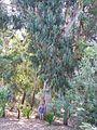 Eucalyptus-12.jpg