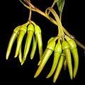 Eucalyptus eremophila - Flickr - Kevin Thiele (1).jpg