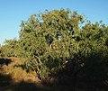 Eucalyptus microtheca.jpg