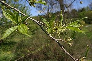 Eucommia - Eucommia ulmoides foliage and flowers.