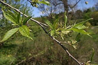 Eucommia ulmoides - Eucommia ulmoides foliage and flowers.