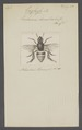Euglossa - Print - Iconographia Zoologica - Special Collections University of Amsterdam - UBAINV0274 045 09 0043.tif