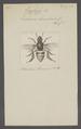 Euglossa - Print - Iconographia Zoologica - Special Collections University of Amsterdam - UBAINV0274 045 09 0043.tif