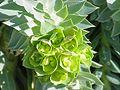 Euphorbia myrsinites5.jpg