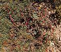 Euphorbia sp1 Cappadoce.jpg