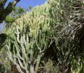 Euphorbia trees2 ies.jpg