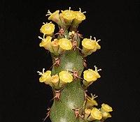 Euphorbia whellanii