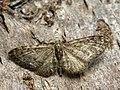 Eupithecia sp. (41351057602).jpg