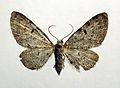 Eupithecia trisignaria02.jpg