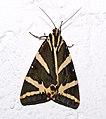 Euplagia quadripunctaria04.jpg