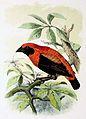 Euplectes hordeaceus 1873.jpg