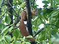 Európai mókus.jpg