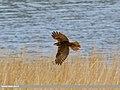 Eurasian Marsh Harrier (Circus aeruginosus) (33645700193).jpg