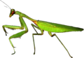 European-mantis-Mante-religieuse.png