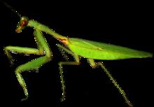 Mante Religieuse - tigre de l'herbe dans BLATTES - TERMITES 220px-European-mantis-Mante-religieuse