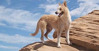 Portuguese Podengo Dog breed