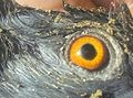 Eye of pigeon.jpg