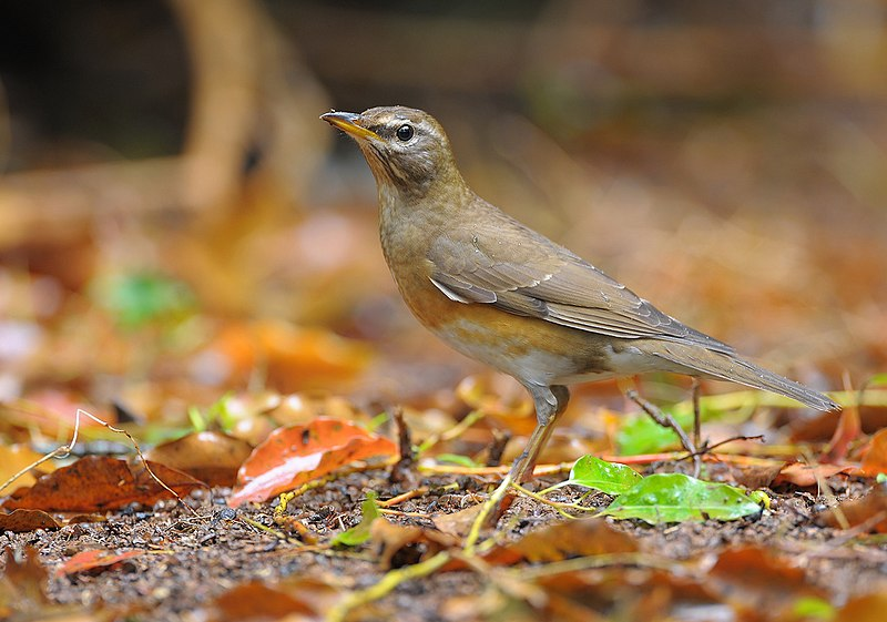 File:Eyebrowed Thrush.jpg