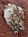 """Fósiles marinos de """"El Madroño"""" - Landa de Matamoros, Querétaro.jpg"""