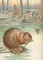 FMIB 41973 Beaver (Castor canadensis (Kuhl)).jpeg