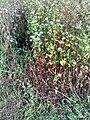 Fagopyrum esculentum 01.jpg
