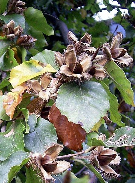 Buk lesný - otvorené plody, vo vnútri sú semená
