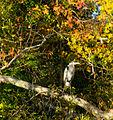 Fall heron (6329801638).jpg