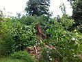 Fallen tree in Hollywood Cemetery.JPG