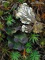 Fan Lichen (4496681741).jpg
