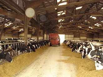 Total mixed ration - Distributing TMR to a group of dairy cows
