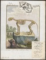 Felis leo - skelet - 1700-1880 - Print - Iconographia Zoologica - Special Collections University of Amsterdam - UBA01 IZ22100011.tif