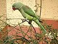 Female Alexandrine Parakeet 1.jpg