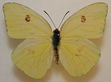 Female Cloudless Sulphur Megan McCarty11.jpg