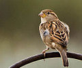 Female House Sparrow (passer domesticus) (8109481086).jpg