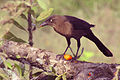 Female great-tailed grackle.JPG