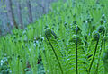 Ferns unfolding (4643212034).jpg