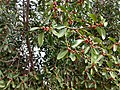 Ficus benghalensis near Thanjavur Railway Junction IMG 20180512 155335837 HDR.jpg