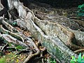 Ficus macrophylla (Ponta Delgada).jpg